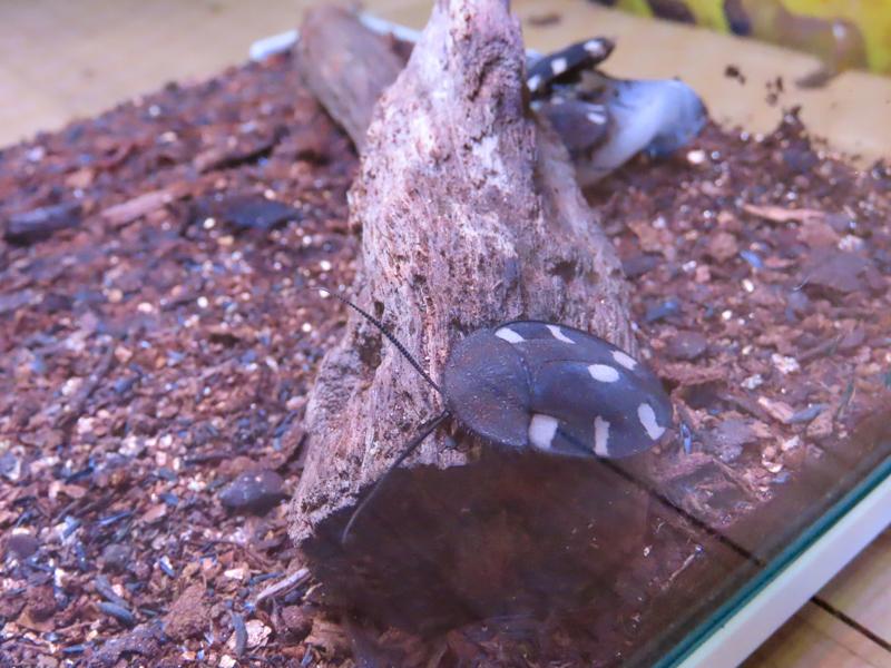 ドミノローチの生体展示