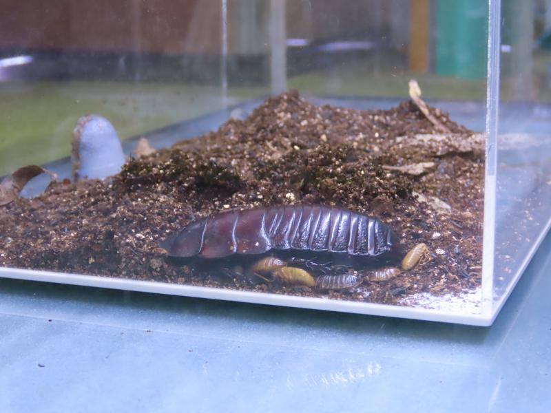 ヨロイモグラゴキブリの生体展示(メス)と幼虫