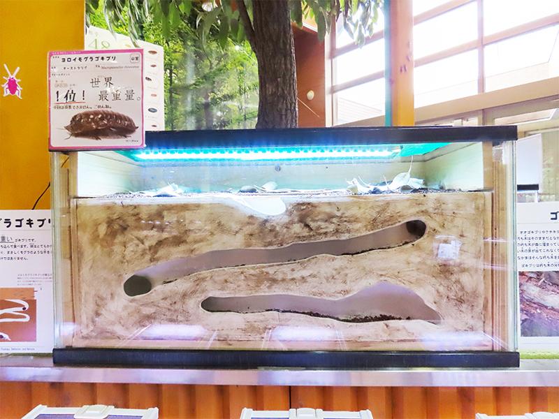 ヨロイモグラゴキブリの巣穴を再現した展示
