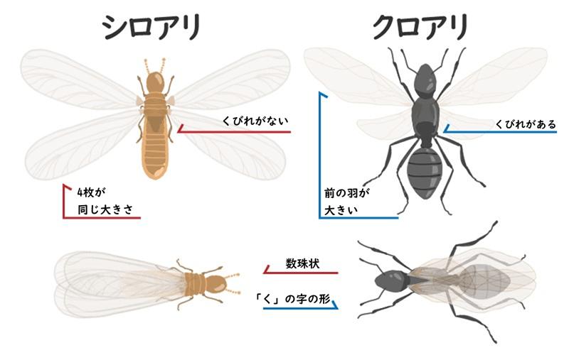 シロアリとクロアリの羽アリの見分け方