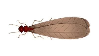 アメリカカンザイシロアリの羽アリ