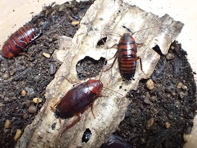 ツヤアカゴキブリの飼育の様子01