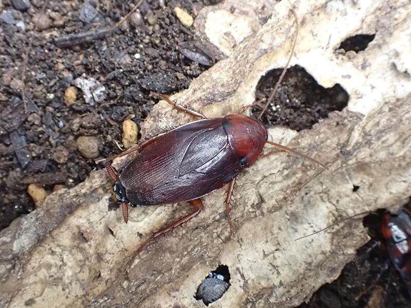ツヤアカゴキブリの飼育の様子02