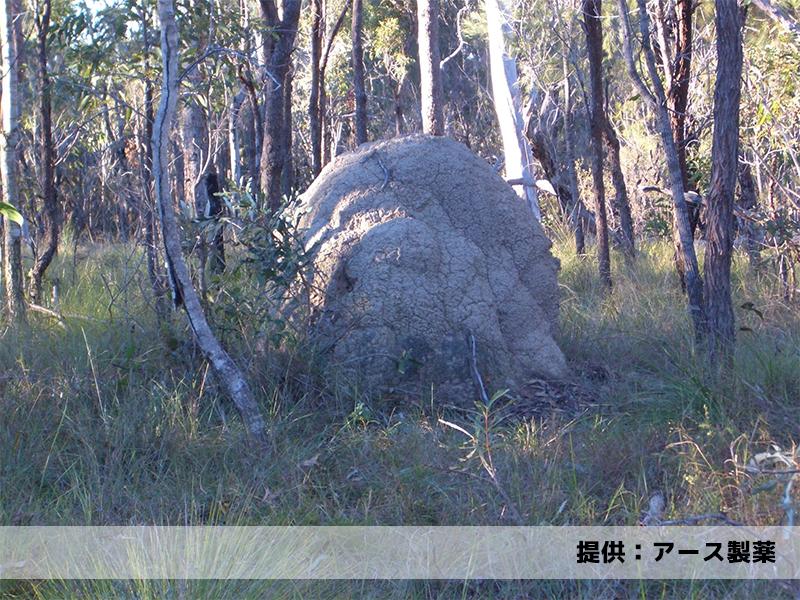 オーストラリア・クィーンズランド州のアリ塚