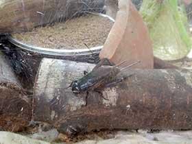 展示されているコオロギの写真