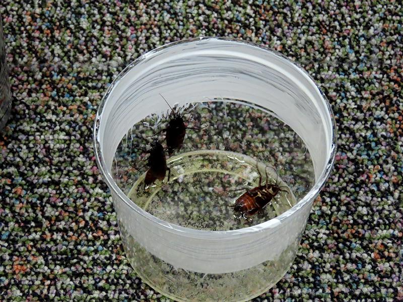 ビールに浸るクロゴキブリ