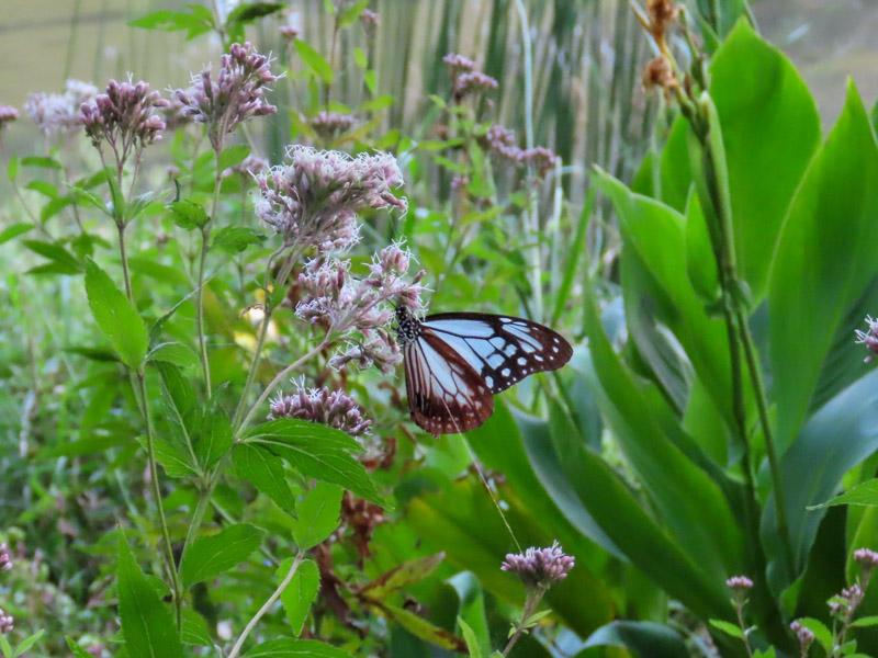磐田市竜洋昆虫自然観察公園のビオトープで飛んでいたアサギマダラ