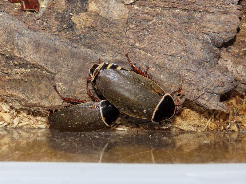 シマンドアドウクツゴキブリの生体