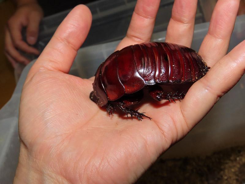 ヨロイモグラゴキブリの生体