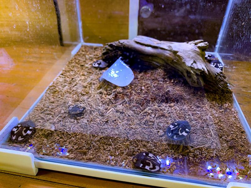 クエスチョンマークローチの生体展示