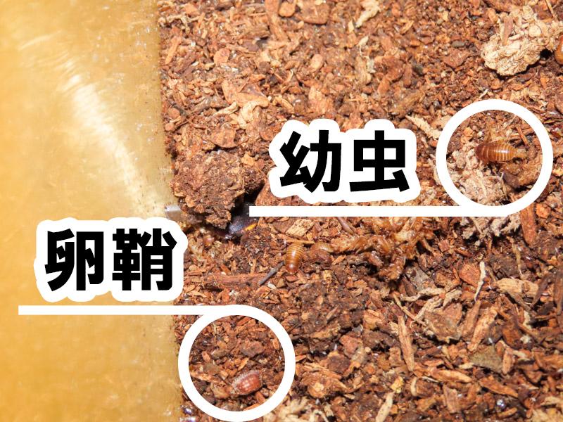 ルリゴキブリの幼虫と卵鞘
