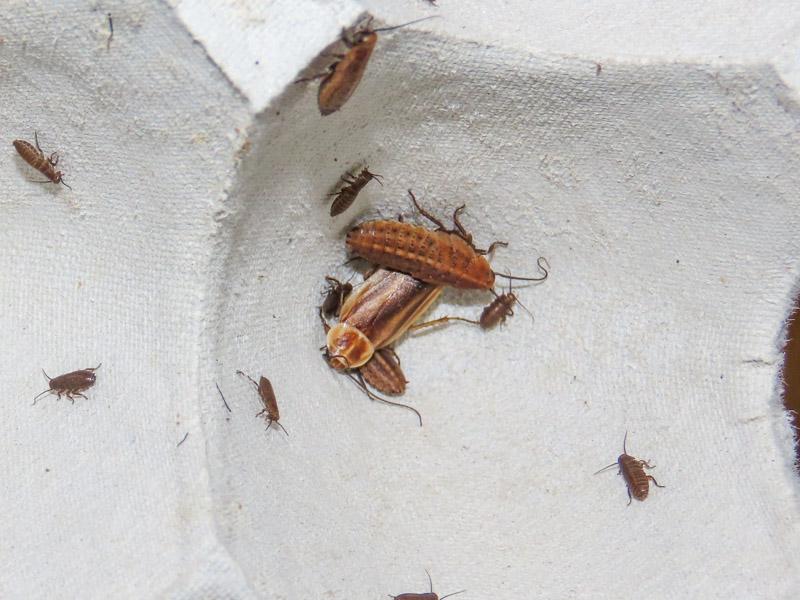 ホタルゴキブリの生体