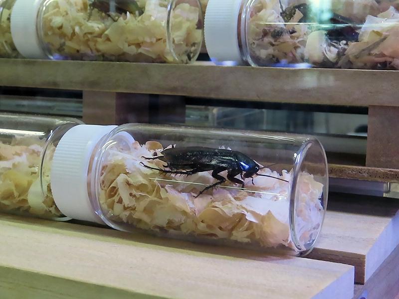 エメラルドゴキブリバチに卵を産み付けられたゴキブリ