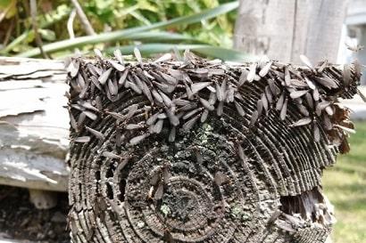 朽木に群がる羽アリ