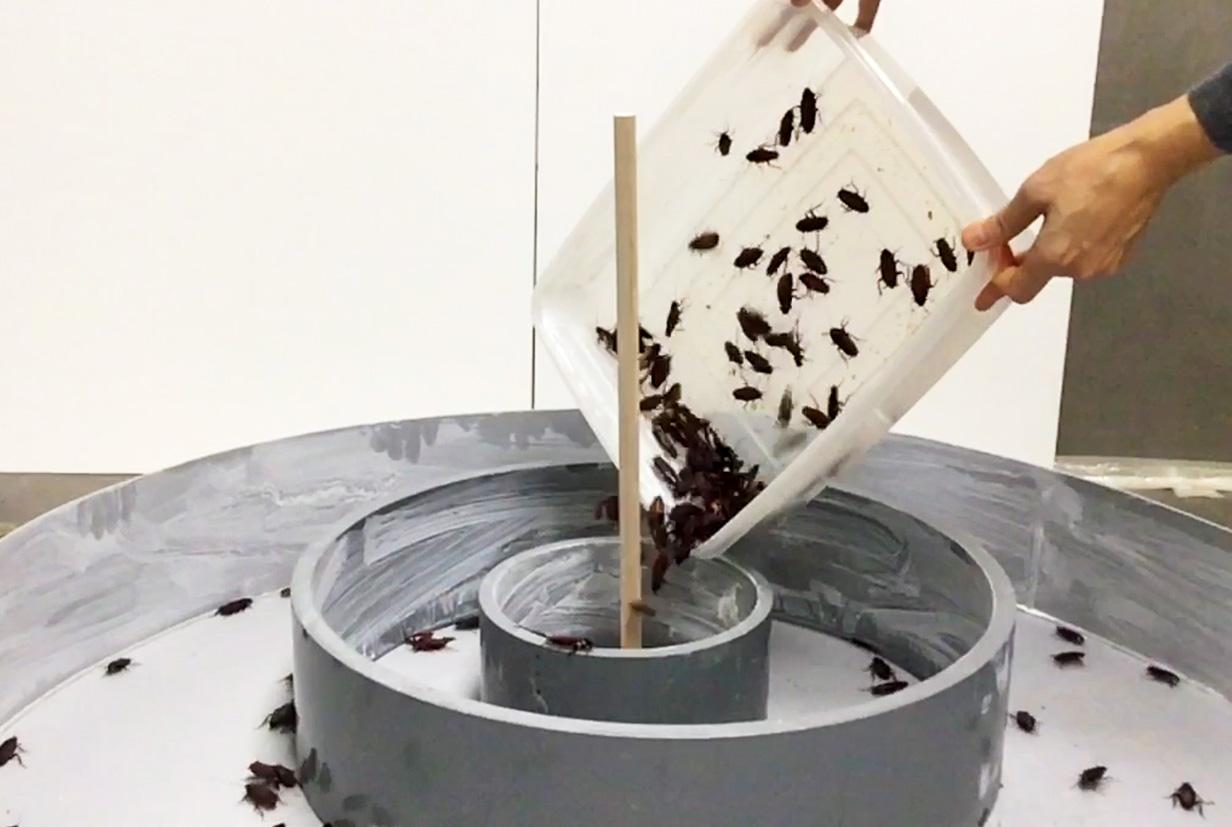 実験装置の中にクロゴキブリを投入する様子