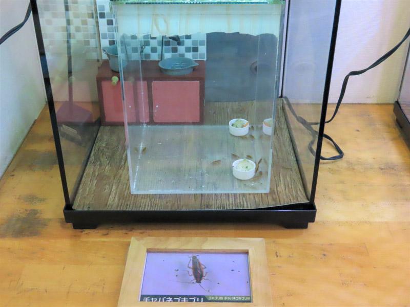 チャバネゴキブリの生体展示