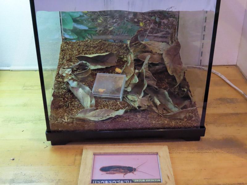 リュウキュウゴキブリの生体展示