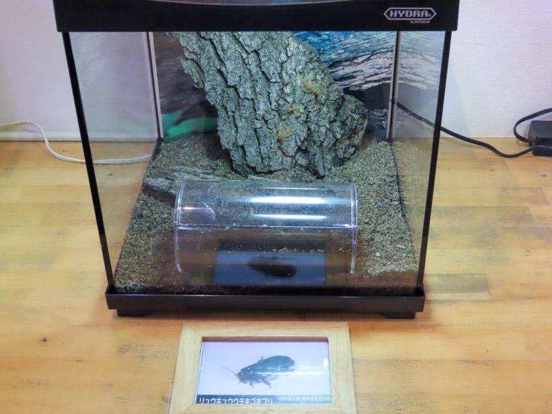 リュウキュウクチキゴキブリの生体展示