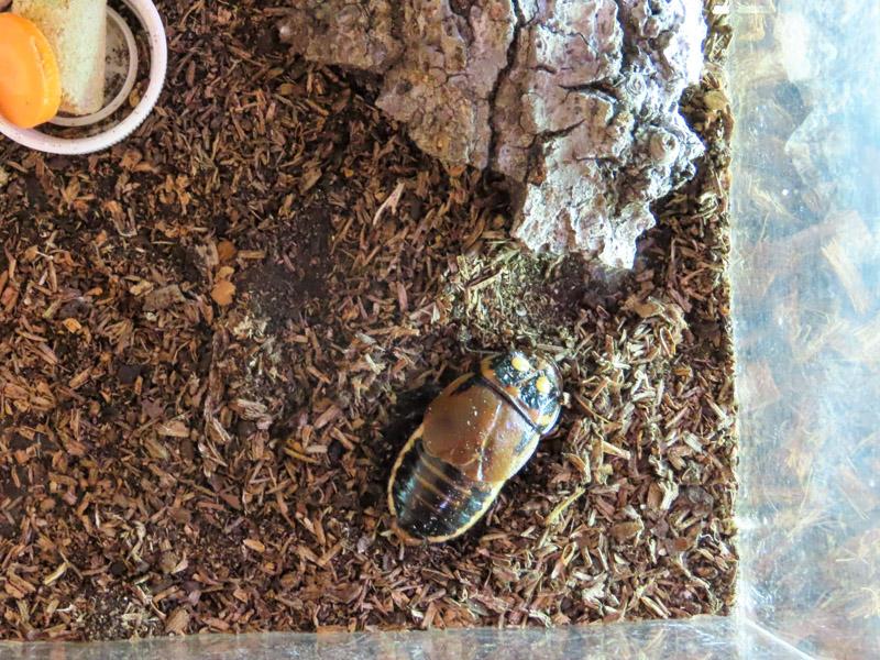 グロウスポットゴキブリの生体展示
