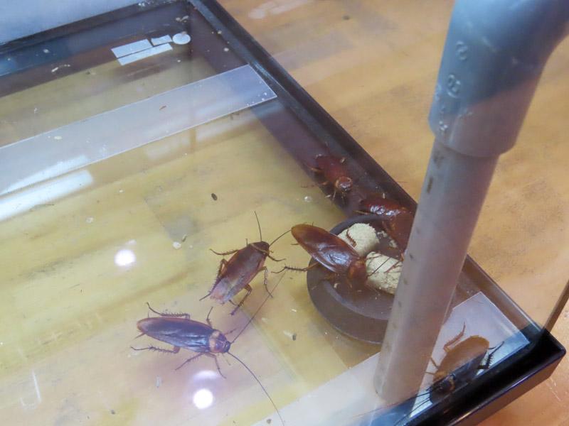 ワモンゴキブリの生体展示(アップ)