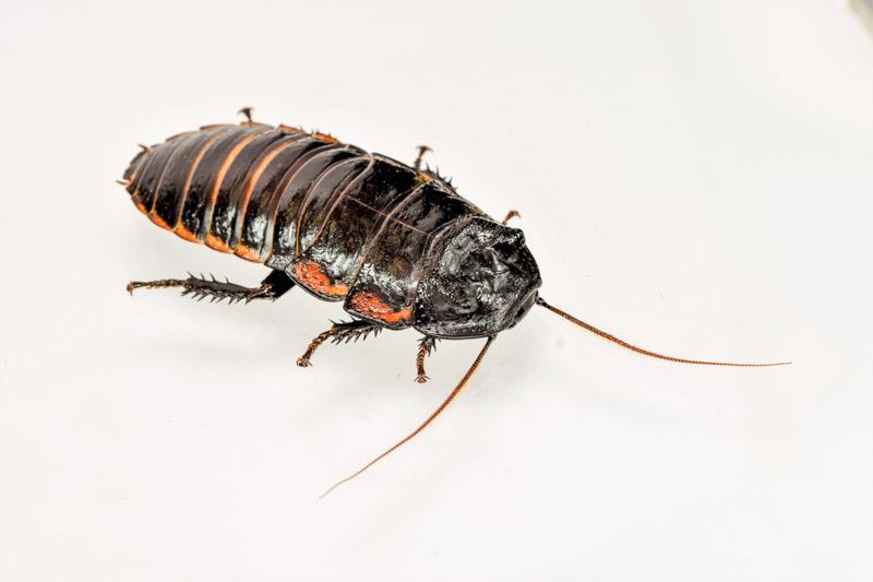 ヴァンウェレベキマダガスカルゴキブリの生体