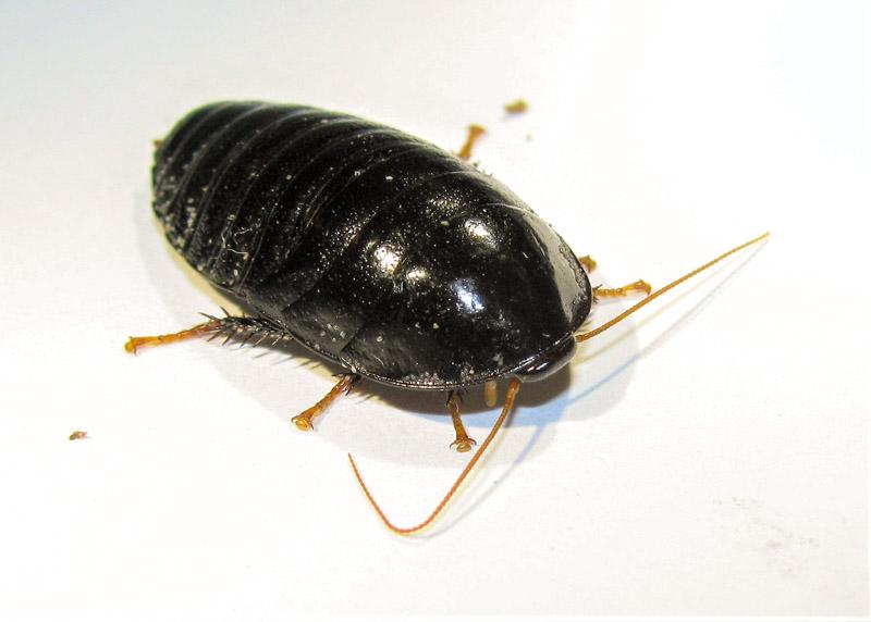 マルゴキブリの生体