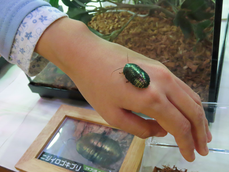 ニジイロゴキブリの生体展示