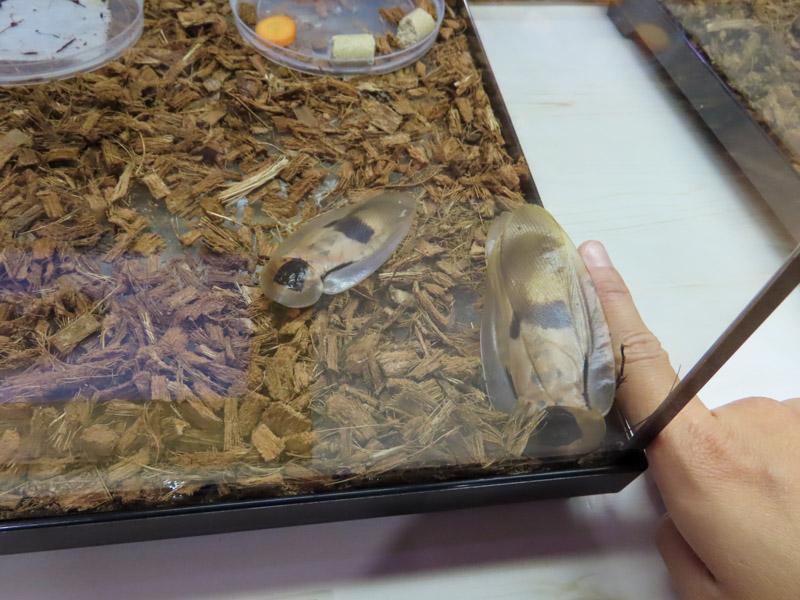 ブラベウスギガンテウスの生体展示