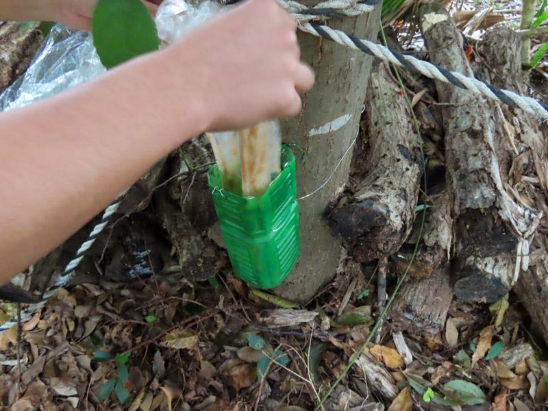 磐田市竜洋昆虫自然観察公園の木に仕掛けられたノムラホイホイに発酵バナナを入れる様子