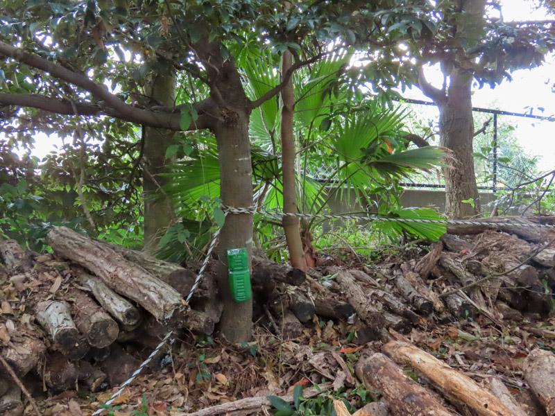 磐田市竜洋昆虫自然観察公園の木に仕掛けられたノムラホイホイ