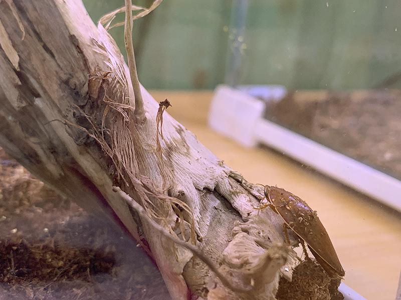 コモリゴキブリの展示ケース