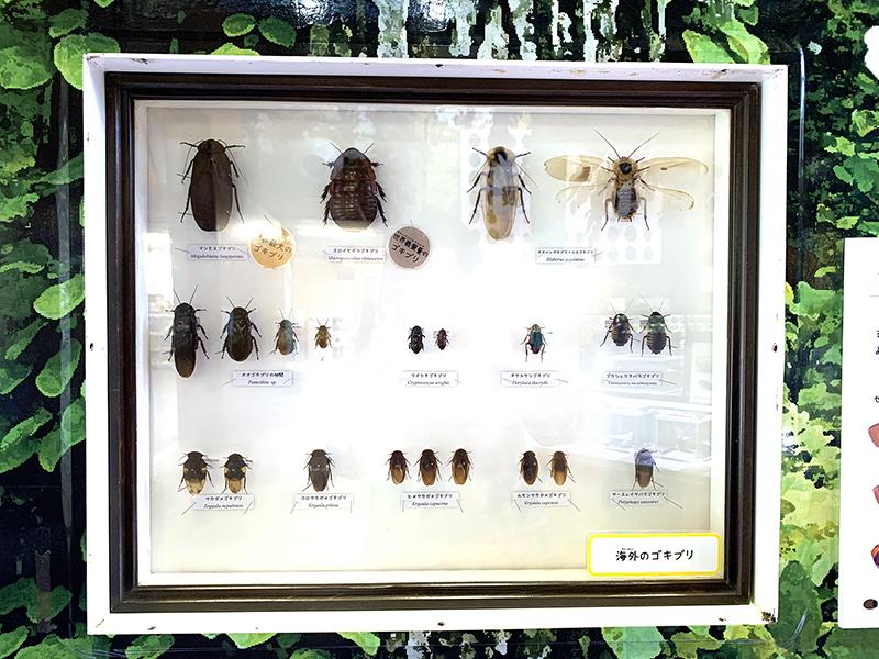 海外のゴキブリの標本