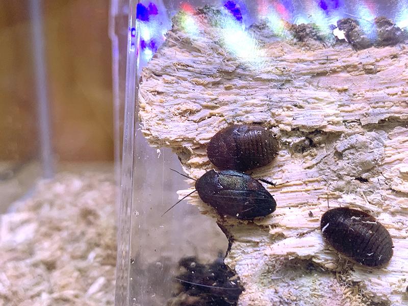 アルゼンチンゴキブリの展示ケース