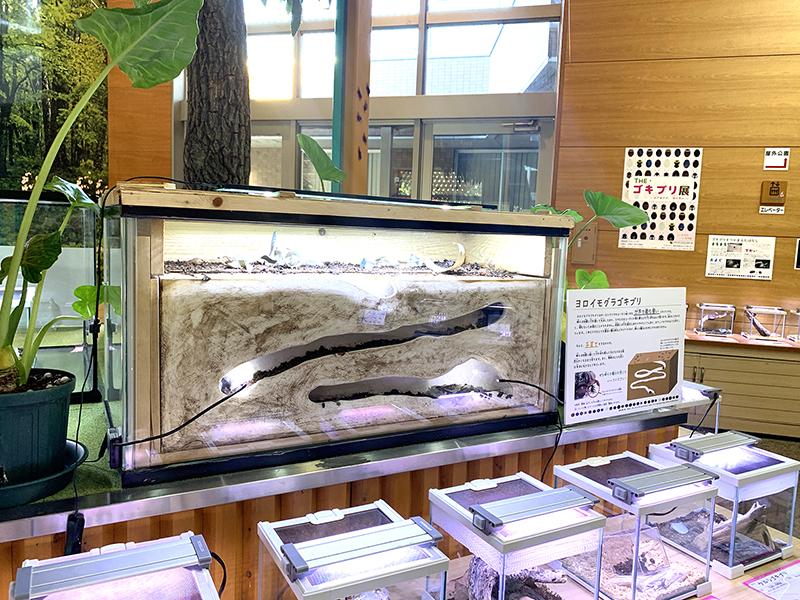 ヨロイモグラゴキブリは巣穴を再現した展示ケース