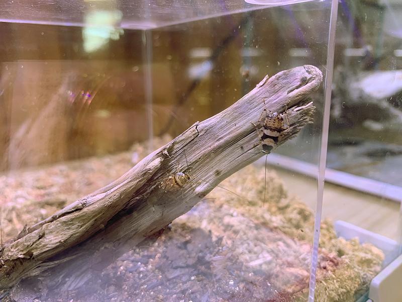 アミメヒラタゴキブリの展示ケース