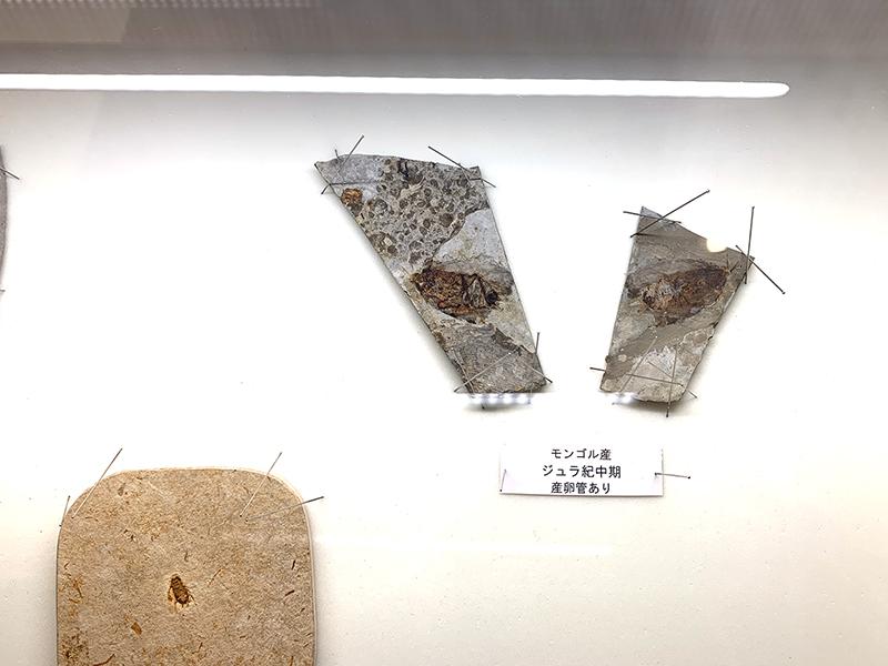 ゴキブリの化石