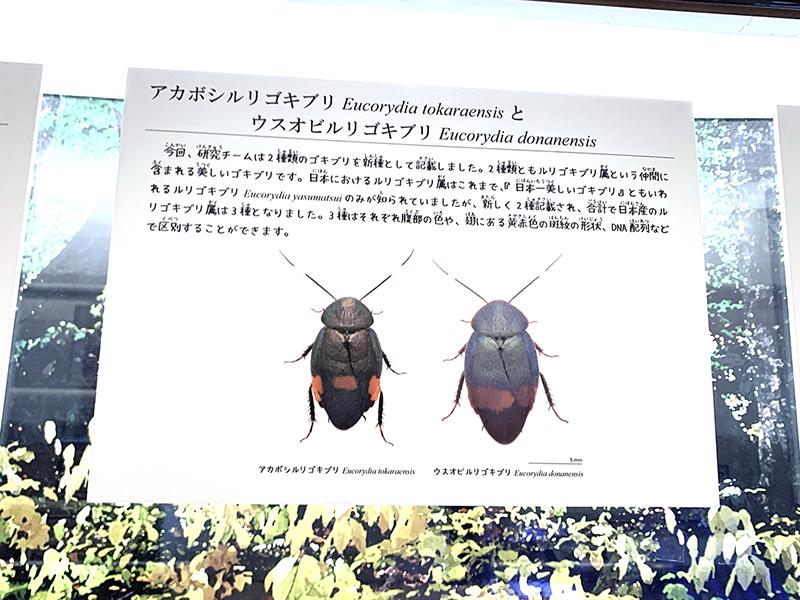 アカボシルリゴキブリとウスオビルリゴキブリについて書かれたパネル