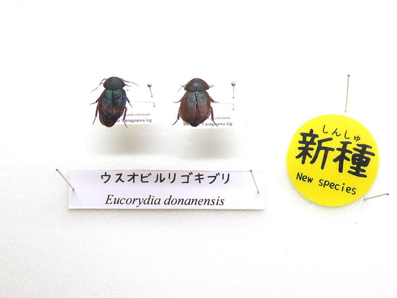 「ウスオビルリゴキブリ」の標本