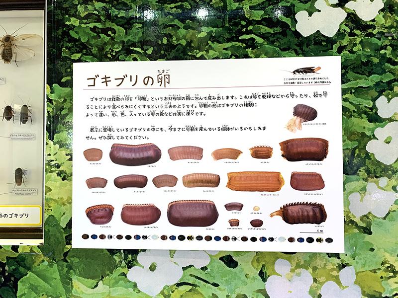 さまざまなゴキブリの卵を紹介するパネル展示