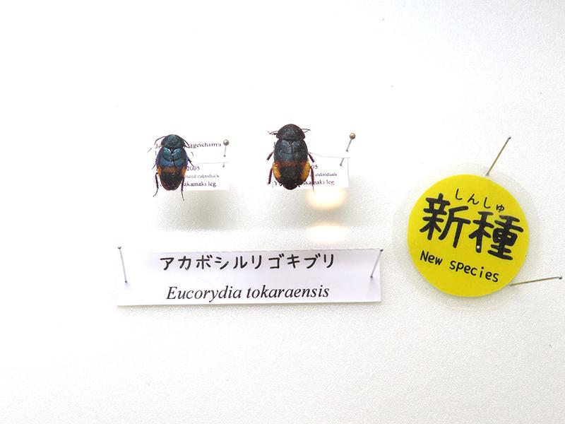 「アカボシルリゴキブリ」の標本