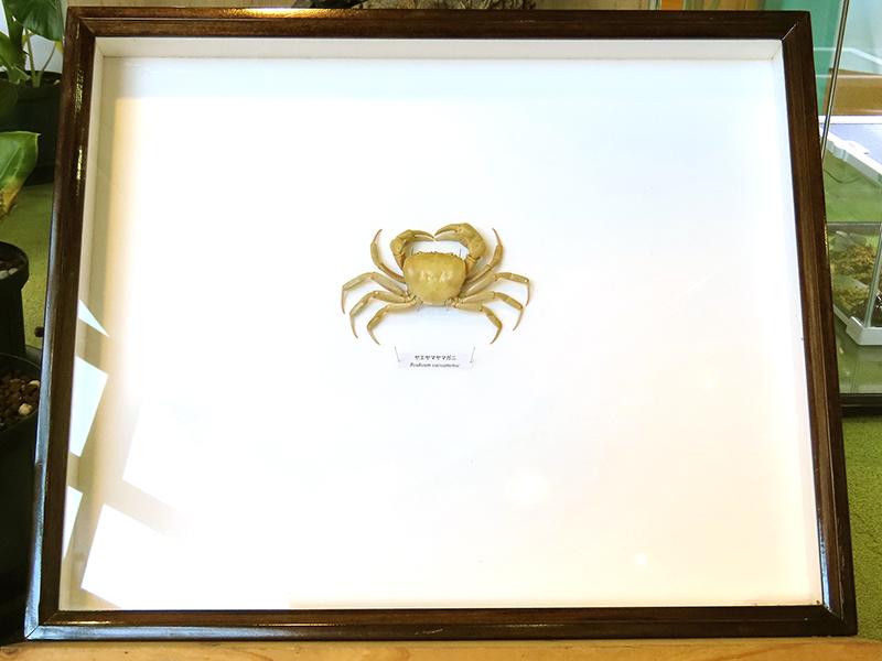 ヤエヤマヤマガニの展示ケース