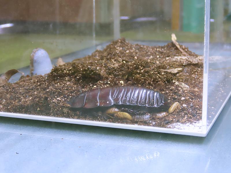 2020年の「ゴキブリ展3」で撮影したヨロイモグラゴキブリの親子