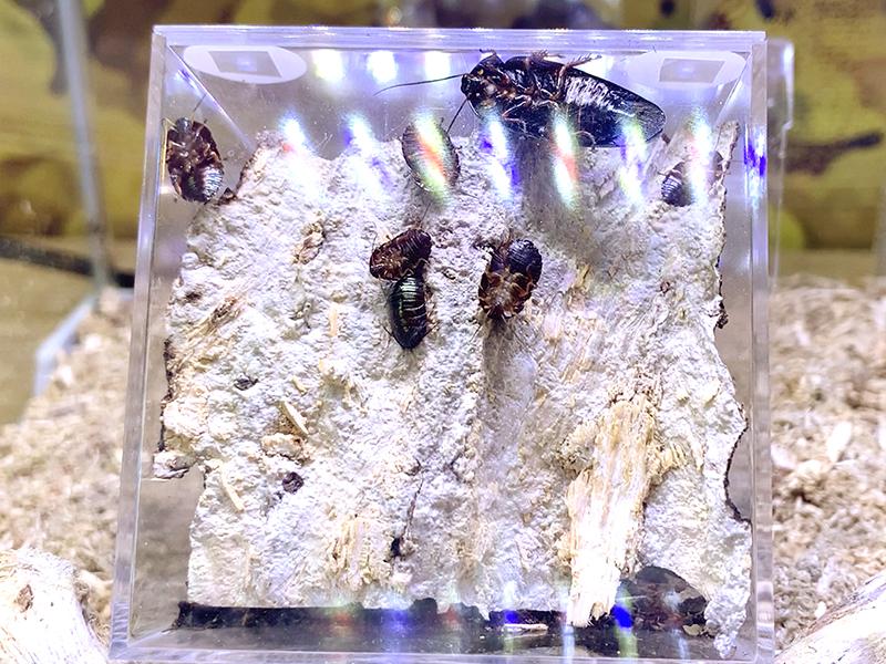 ニジイロゴキブリ(エメラルドジュエルローチ)の展示ケース