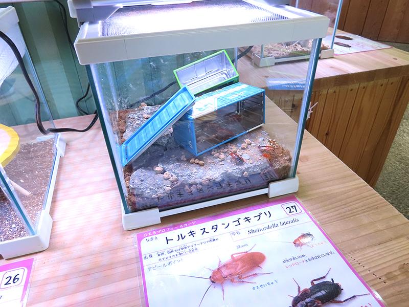 トルキスタンゴキブリ(チュウトウゴキブリ)の展示ケース