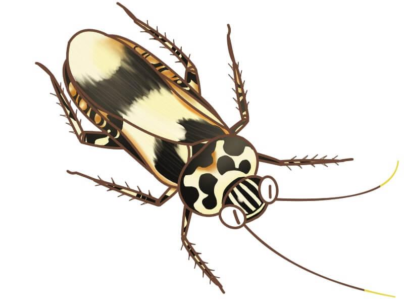 ムネマダラオオゴキブリ