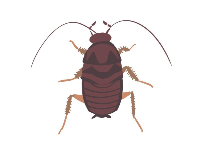 クロゴキブリの中型幼虫