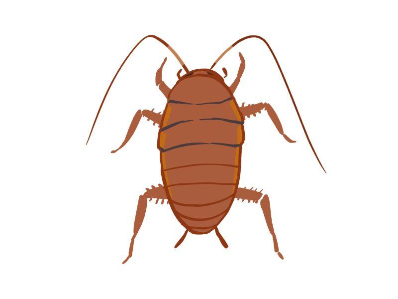 クロゴキブリの大型幼虫