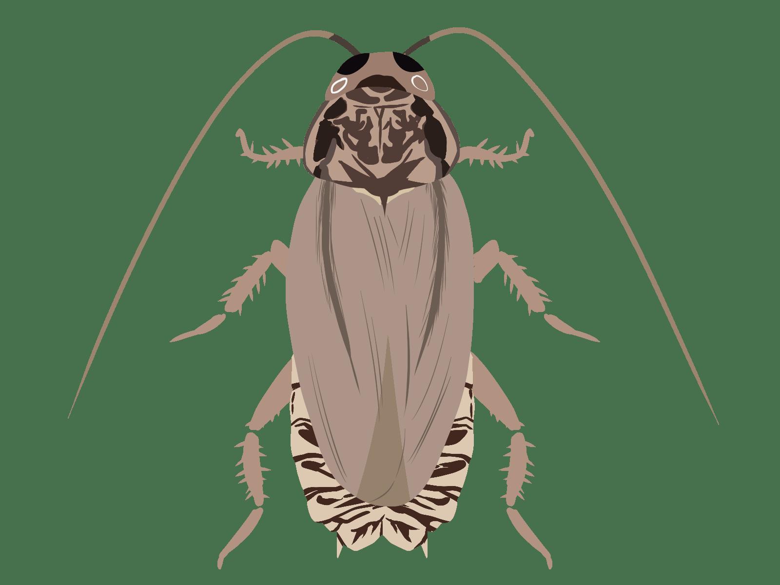 ハイイロゴキブリのイラスト