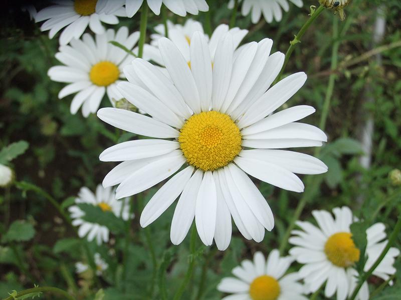 シロバナムシヨケギク(除虫菊)の写真