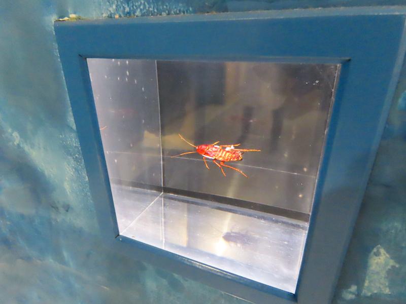 ゴキブリの標本をアクリル樹脂で固めた展示品